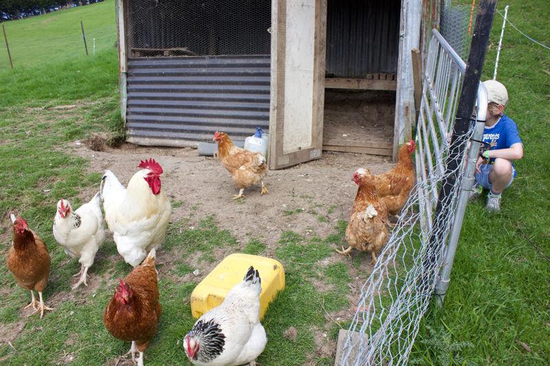 Franza-Farm-Animals-Tour-Dunedin-Chicken