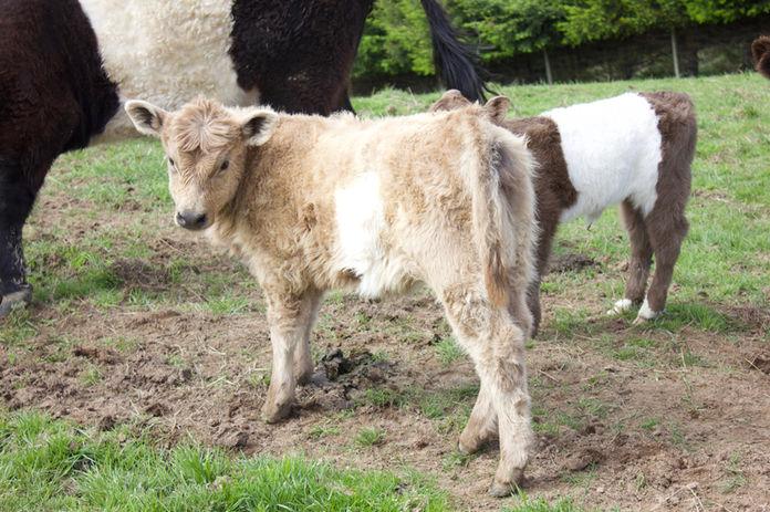 Franza-Guided-Farm-Trekking-Dunedin-Calf