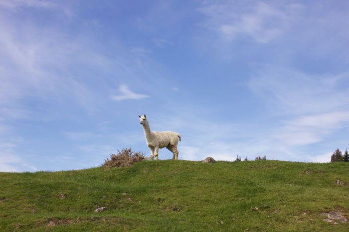 Franza-Guided-Farm-Trekking-Dunedin-Alpa