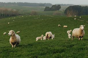 BF-prices-sheep.jpg