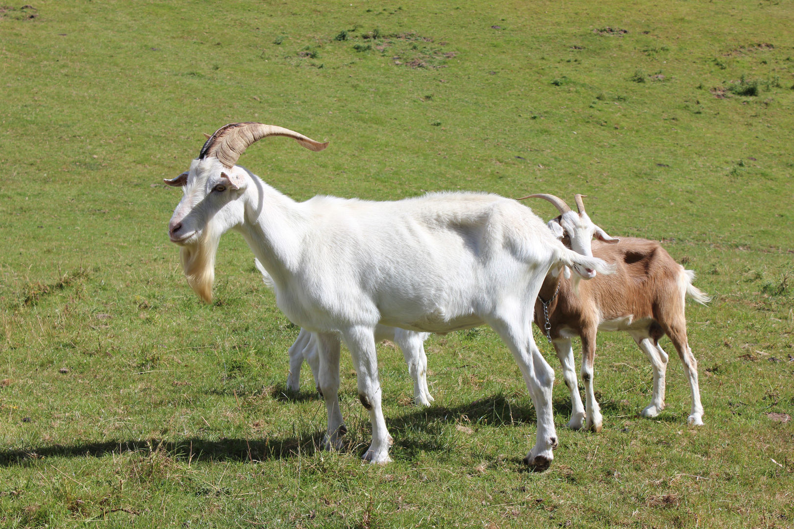 franza-farm-new-zealand-goats.jpg
