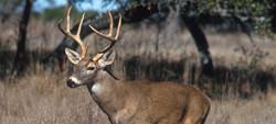 White-tailed_deer.jpg 2015-3-2-14:23:28