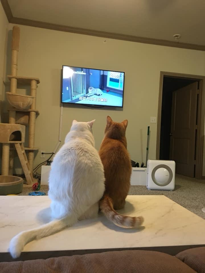 Curious cats enjoy watching TV