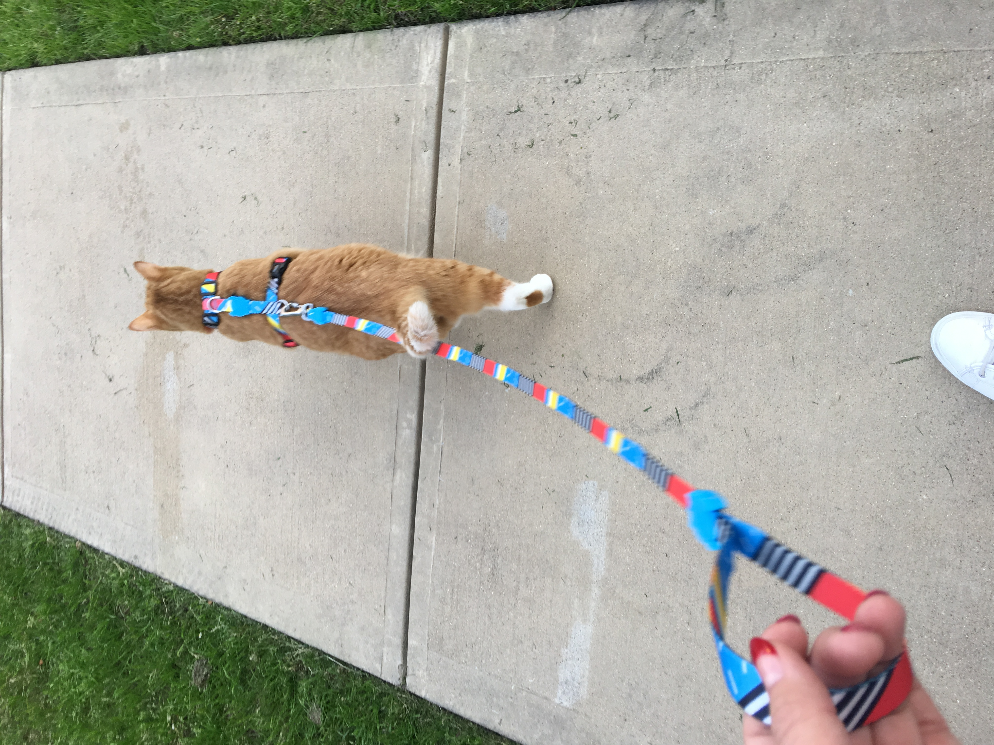 No leash training.  It comes naturally!
