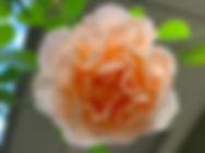 オレンジバラ.jpeg