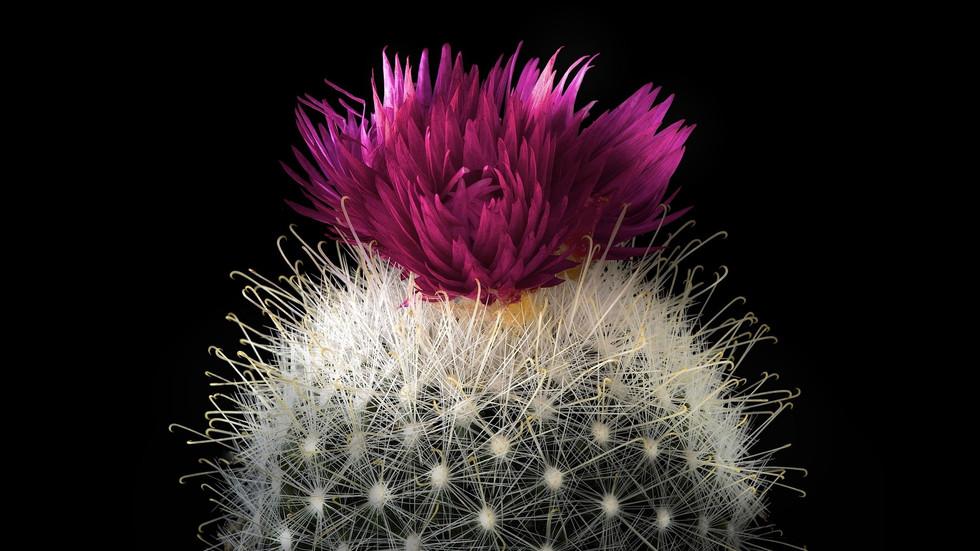 Cactus-red-flower-barb-black-background_