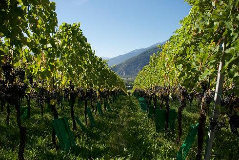 Vinigma vineyard.jpg