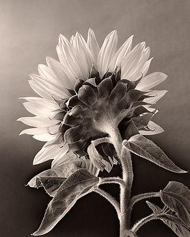 Prints Sunflower image