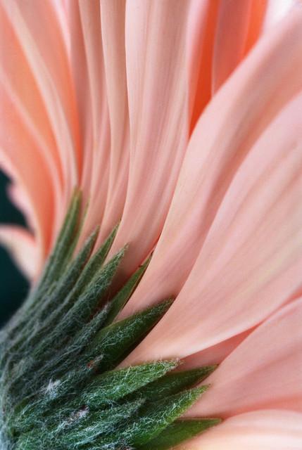 Flowing Petals