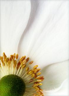 White Petals