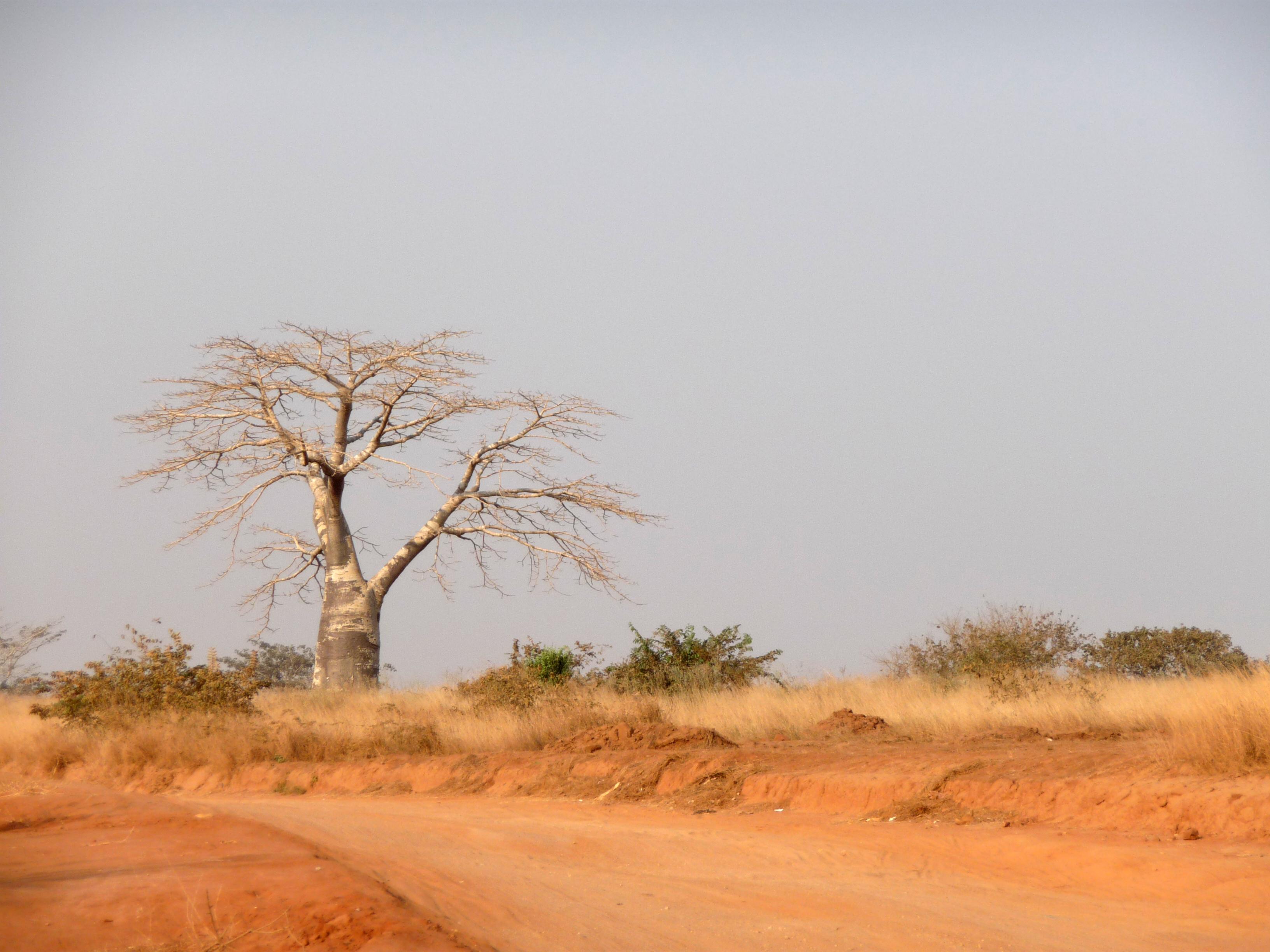 Baobab, Angola