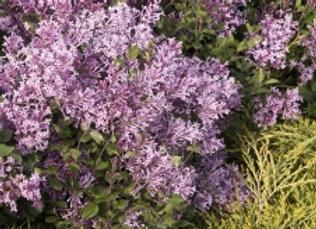 Syringa (Lilac) - Bloomerang