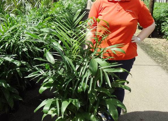 Palm - Chamaedorea (Bamboo Palm)