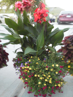 Potted Canna