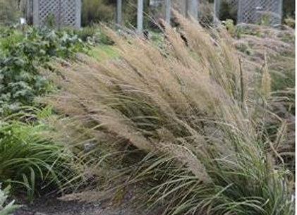 Grass - Ornamental - Calam. brachytricha