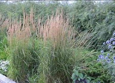 Grass - Ornamental - Cala. a. 'Karl Foerster'
