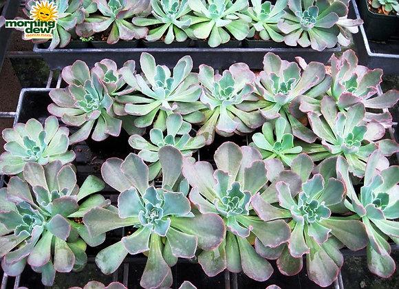 Succulents - Echeveria