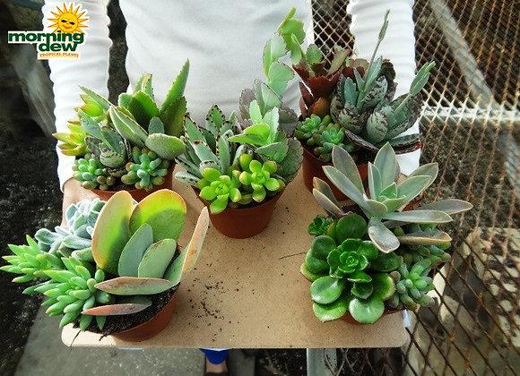 Succulents - Combo Garden