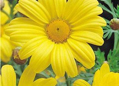 Argyranthemum - Butterfly