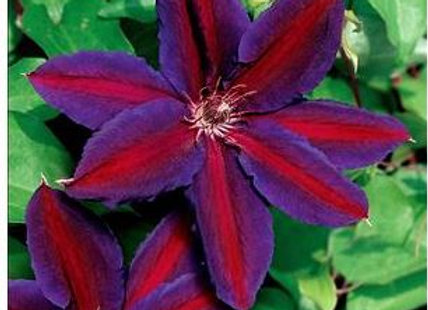 Clematis 'Wildfire'