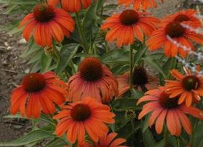 Echinacea 'Julia'