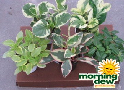 Peperomia (Assorted Varieties)