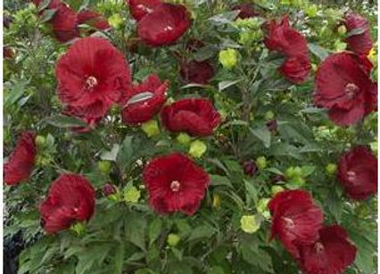Hibiscus 'Cranberry Crush'