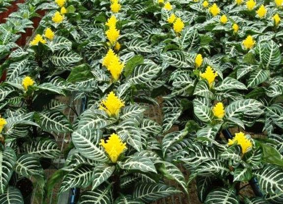 Aphelandra Dania (Flowering)