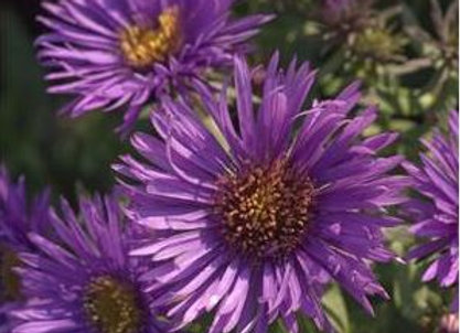 Aster n.a. 'Purple Dome'
