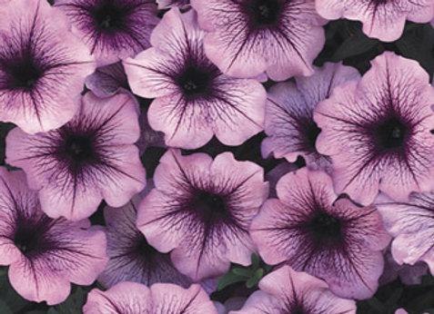 Petunia - Supertunia