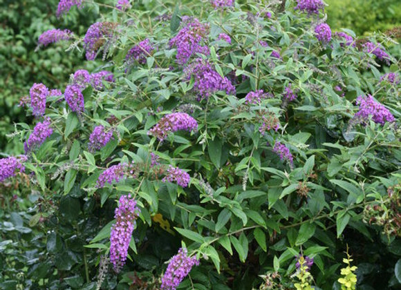 Buddleia (Butterfly Bush) - Low and Behold