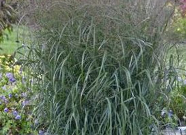 Grass - Ornamental - Panicum 'Apache Rose'