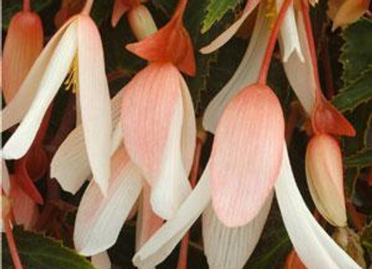 Begonia - Million Kisses