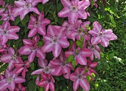 Clematis Earthquake 'Bieszczady'
