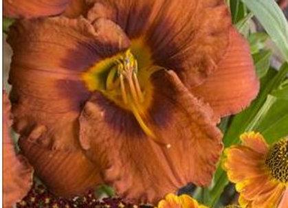 Hemerocallis (Daylily) 'Mighty Chestnut'