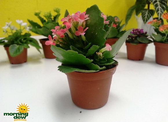 Succulents - Kalanchoe Thysiflora