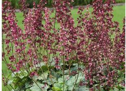 Heuchera (Coral Bells) 'Berry Timeless
