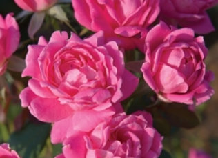 Rose - Double Pink Knock Out