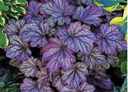 Heuchera (Coral Bells) 'Blackberry Ice'