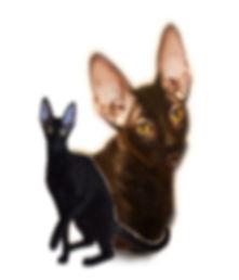 Питомник корниш-рекс, котята корниш-рекс, фото корниш-рекс, фото котят корниш-рекс, котята корниш-рекс Москва, питомник корниш москва, купить котенка корниш-рекс в  питомнике
