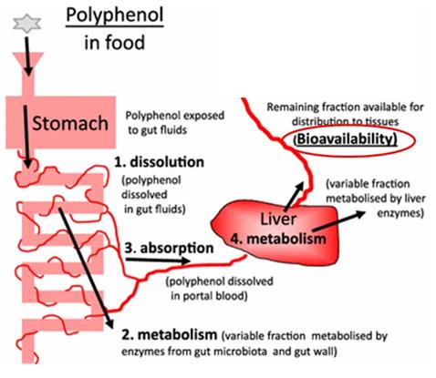 Low Antioxidant BioAvailability.png