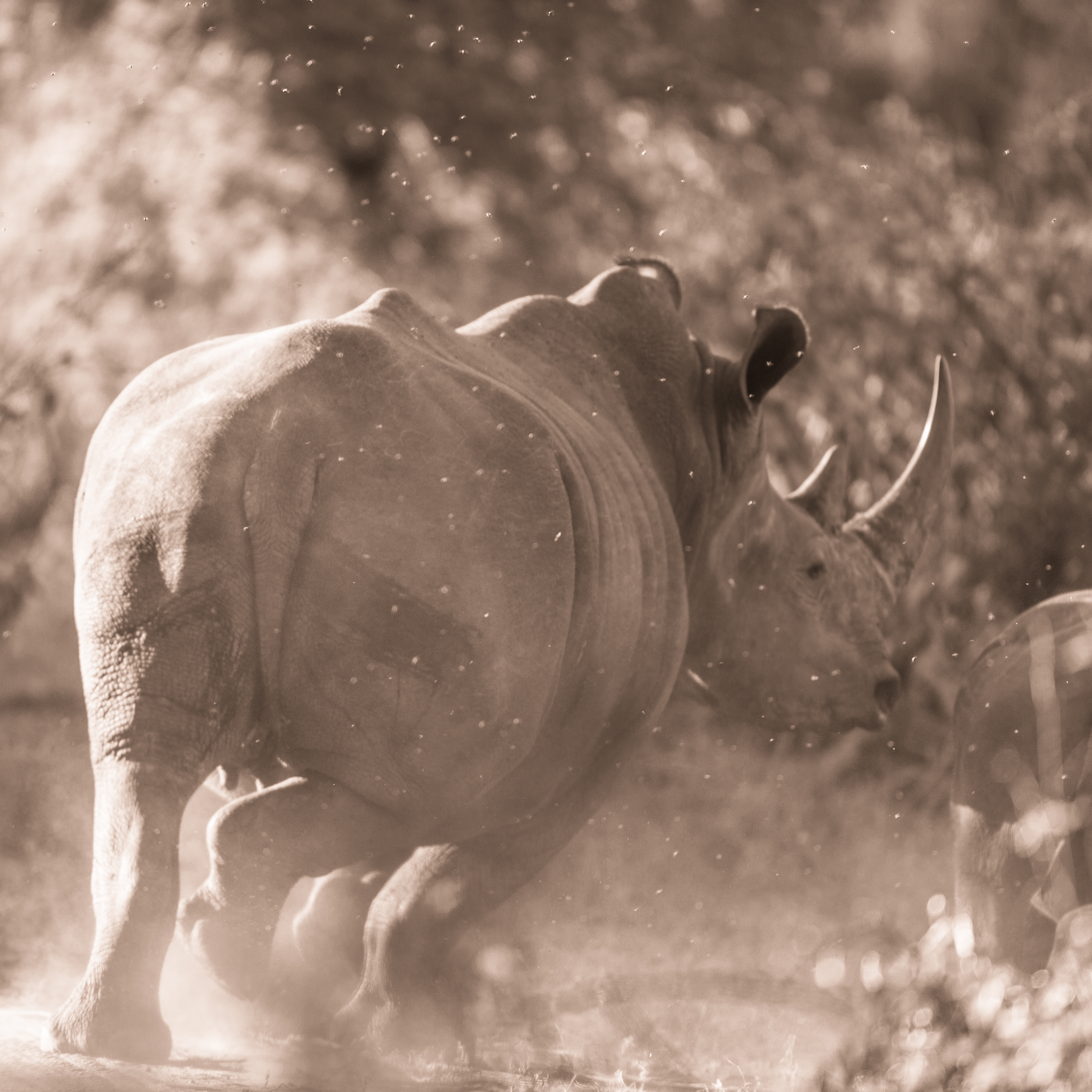 White Rhino, Timbavati Game Reserve, South Africa