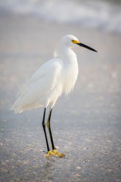 Little Egret, Florida, USA