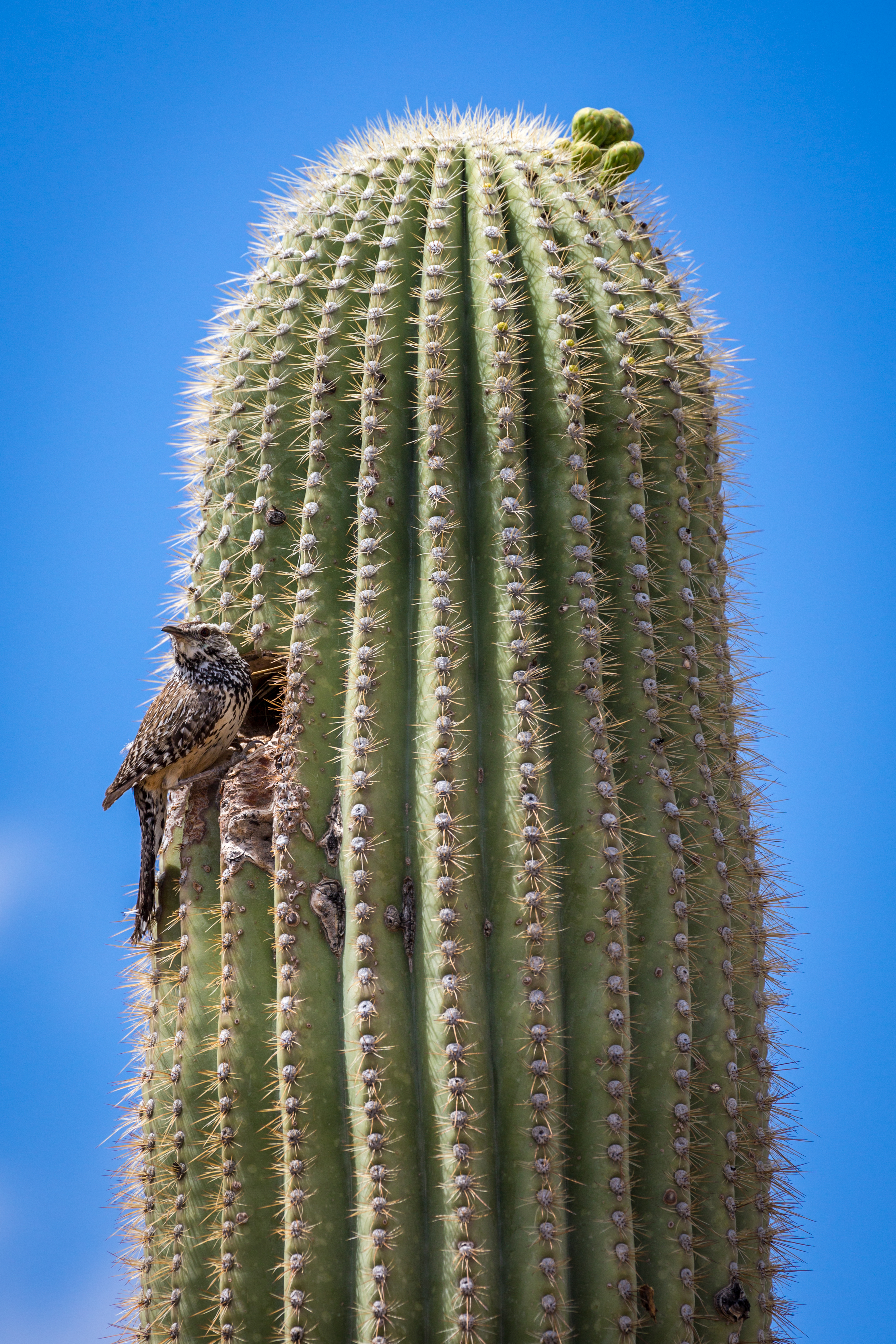 Saguaro Cactus, Saguaro National Park, Arizona, USA