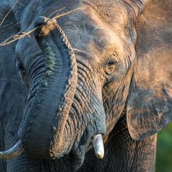 Elephant, Klaserie Game Reserve, South A