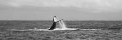 Humpback Whale, Sainte Marie, Madagascar