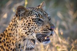 Leopard, Klaserie Game Reserve, South Af