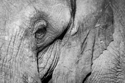 Elephant, Manyeleti Game Reserve, South Africa