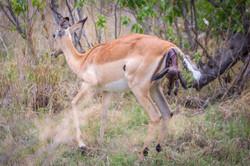 Impala, Okavango Delta, Botswana