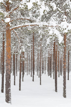 Boreal Forest, Arctic Circle, Finland